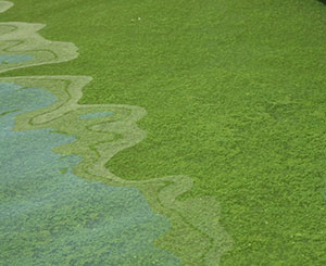 Blue-Green-Algae-Covering-Pond.jpg