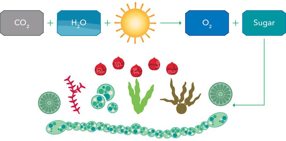 algae photosynthesis