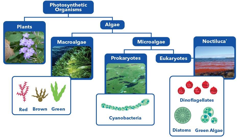 algae types microalgae species