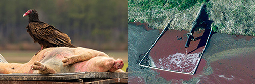 Mission-Water-CAFO-Dead-Pig.jpg